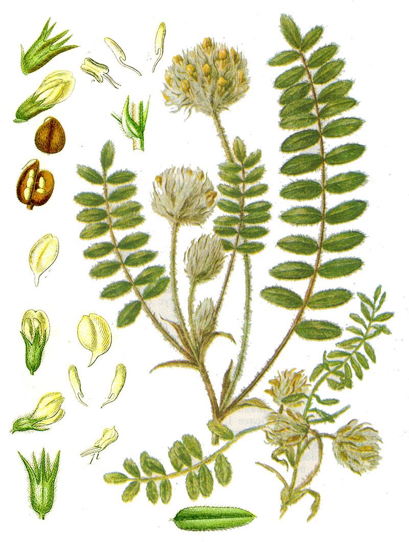 Астрагал шерстистоцветковый, или Кошачий горох (лат. Astragálus dasyánthus)