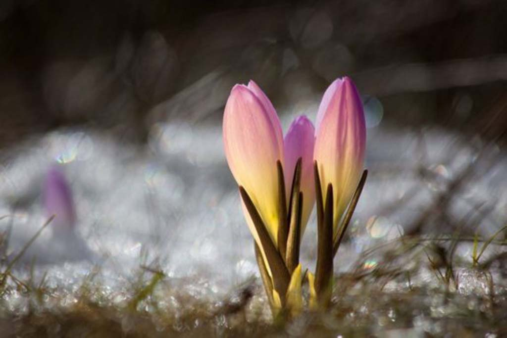 Брандушка разноцветная (лат. Bulbocodium versicolor)