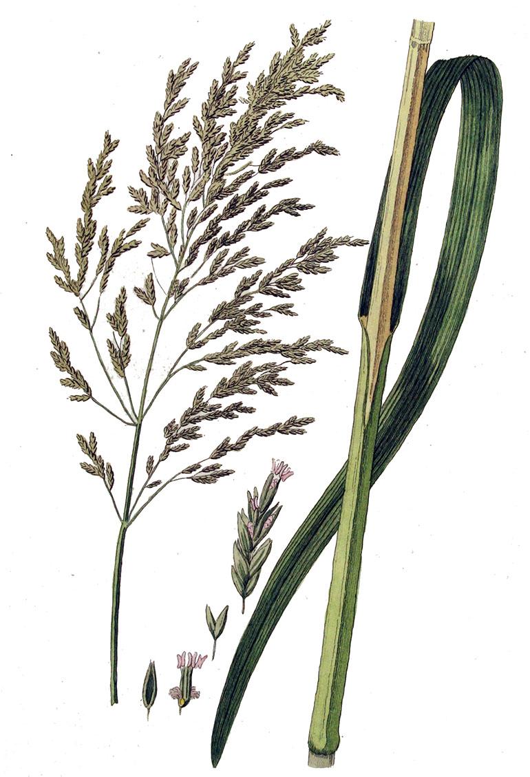 Манник большой (лат. Glycéria máxima)