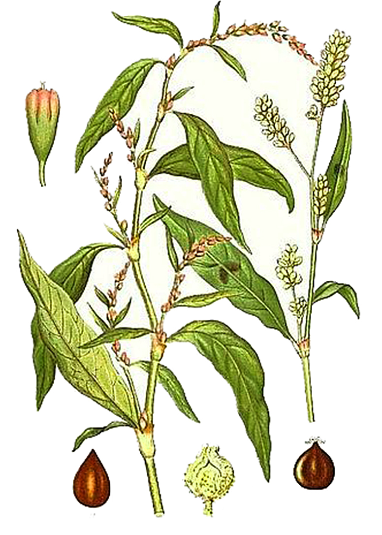 Горец перечный (лат. Persicária hydropíper)