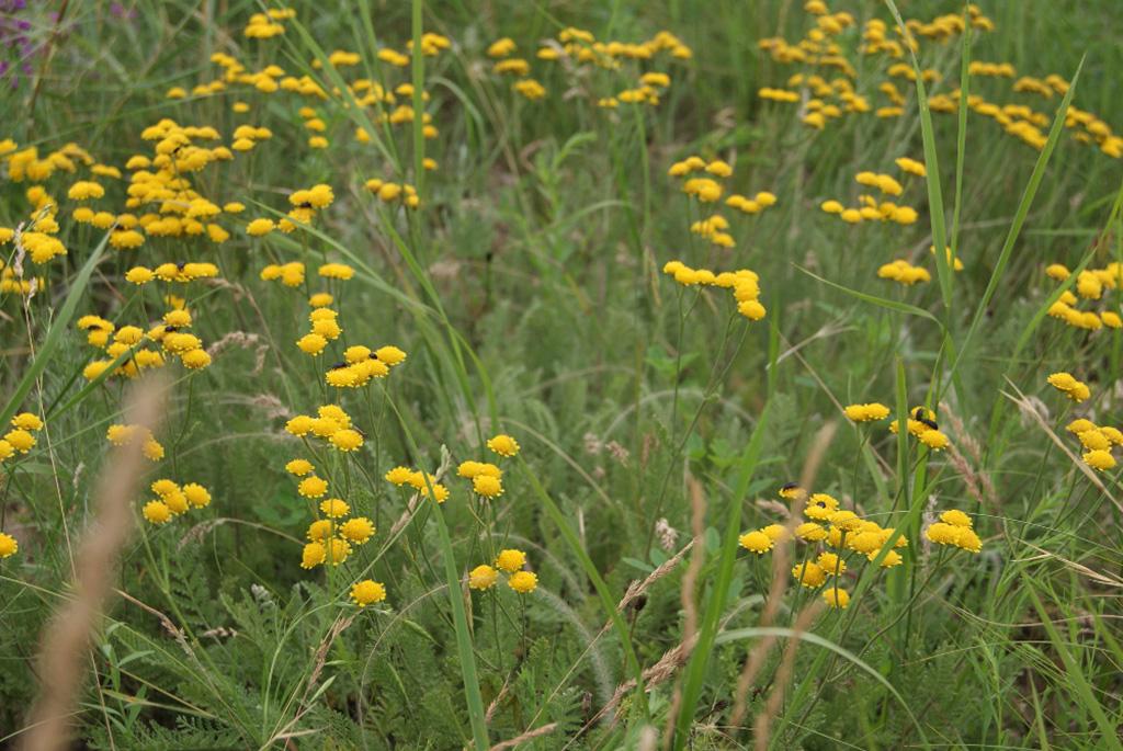 Пижма тысячелистная (лат. Tanacetum millefolium)