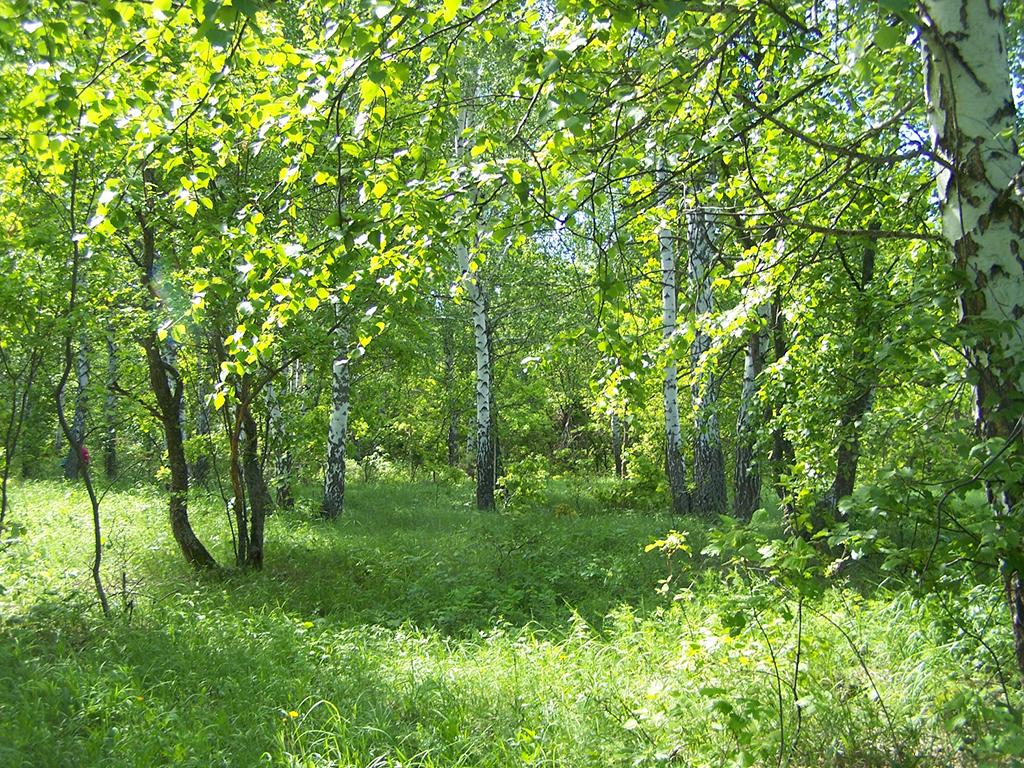 Березовые посадки у Шлыковки