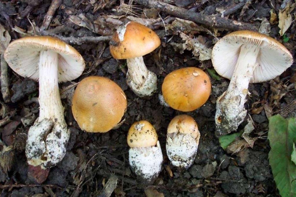 Поплавок шафранный (лат. Amanita crocea)