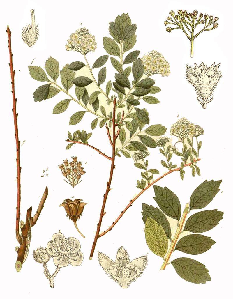 Спирея средняя (лат. Spiraea media)