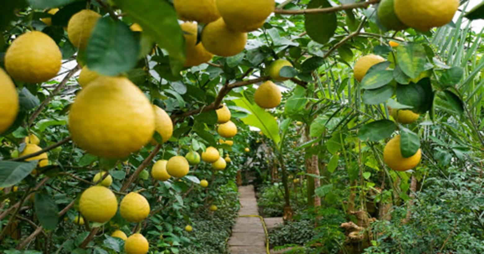 Саратовский лимонарий