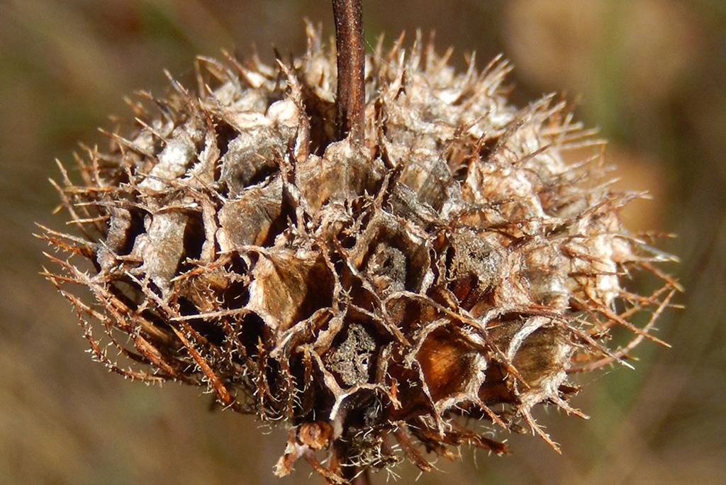 Зопник клубненосный (лат. Phlómis tuberósa)