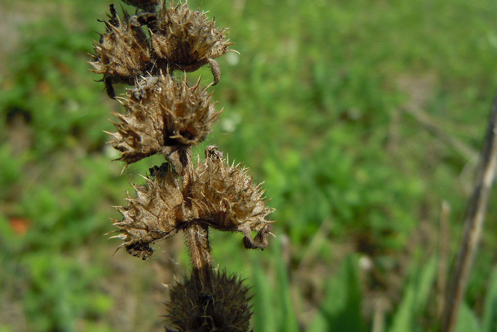 Буквица лекарственная (лат. Betonica officinális)