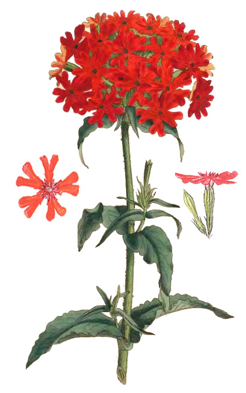 Зорька обыкновенная (Lychnis chalcedonica)