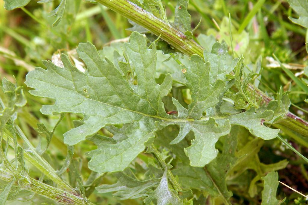 Крестовник луговой, или Якобея  (лат. Senecio jacobaea)