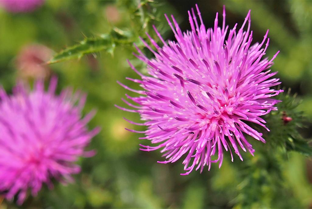 Бодяк полевой (лат. Cirsium arvense)