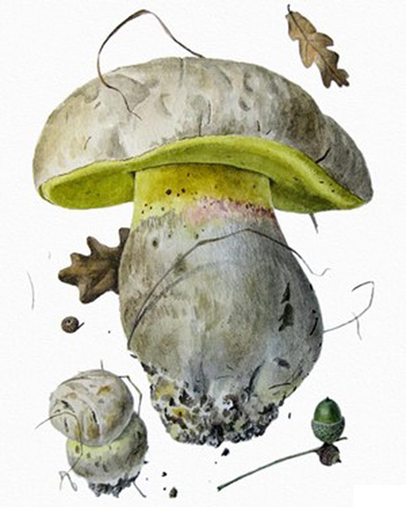 Боровик коренящийся  (лат. Bolétus rádicans)