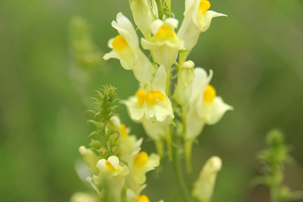 Льнянка обыкновенная (лат. Linaria vulgaris)