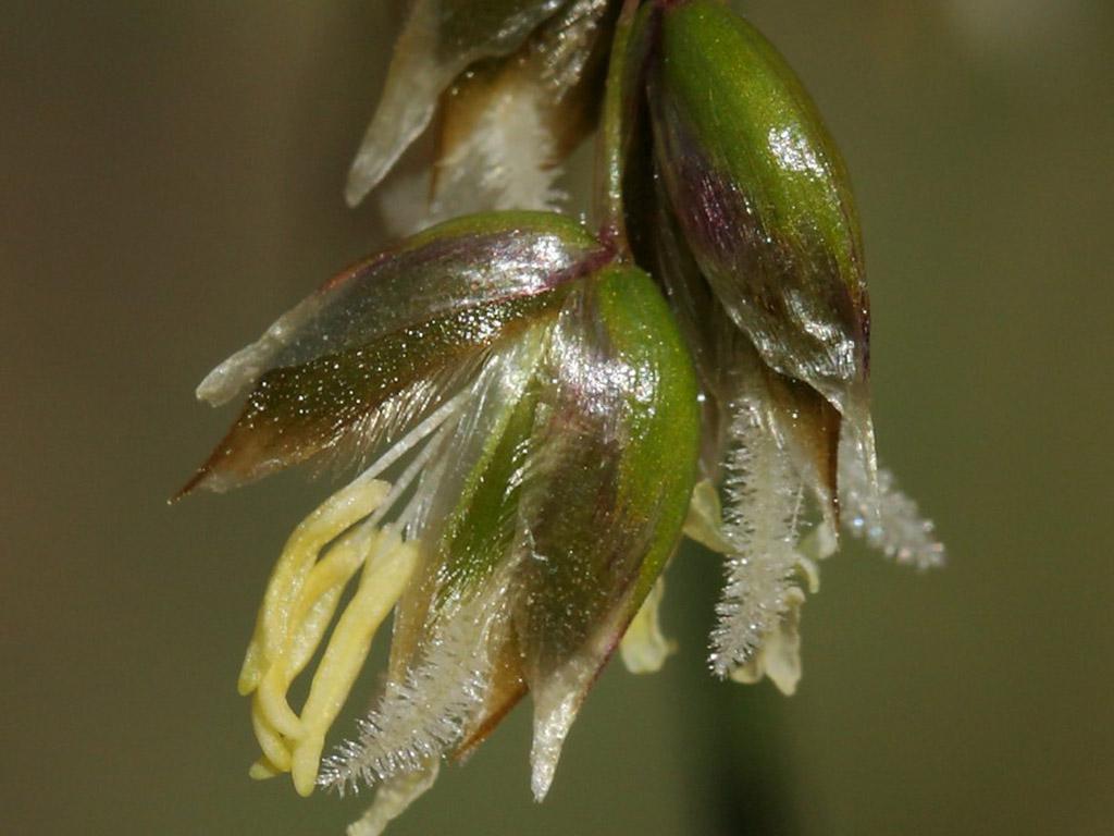 Зубровка душистая (лат. Hieróchloe odoráta)