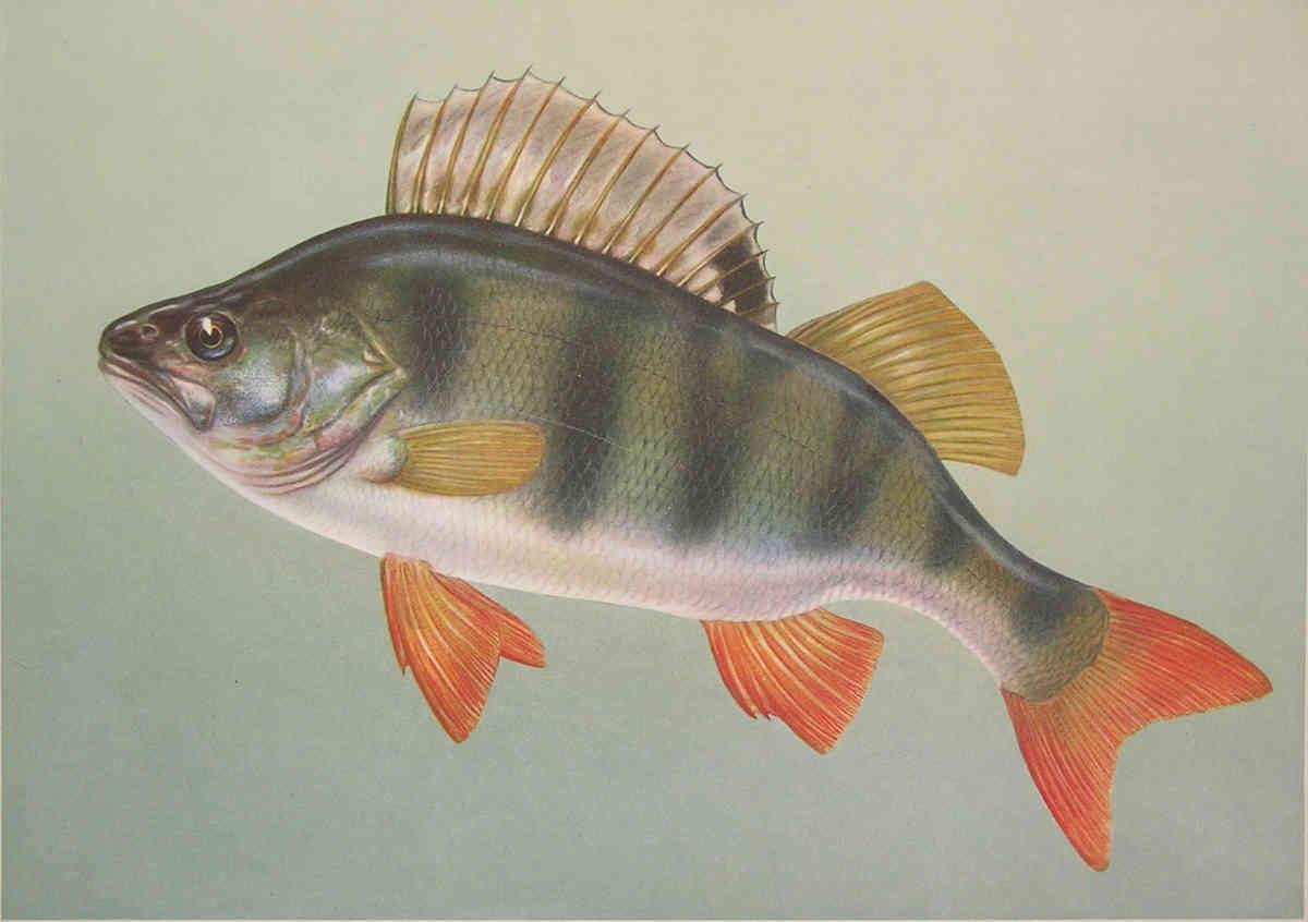 Окунь (лат. Perca fluviatilis)