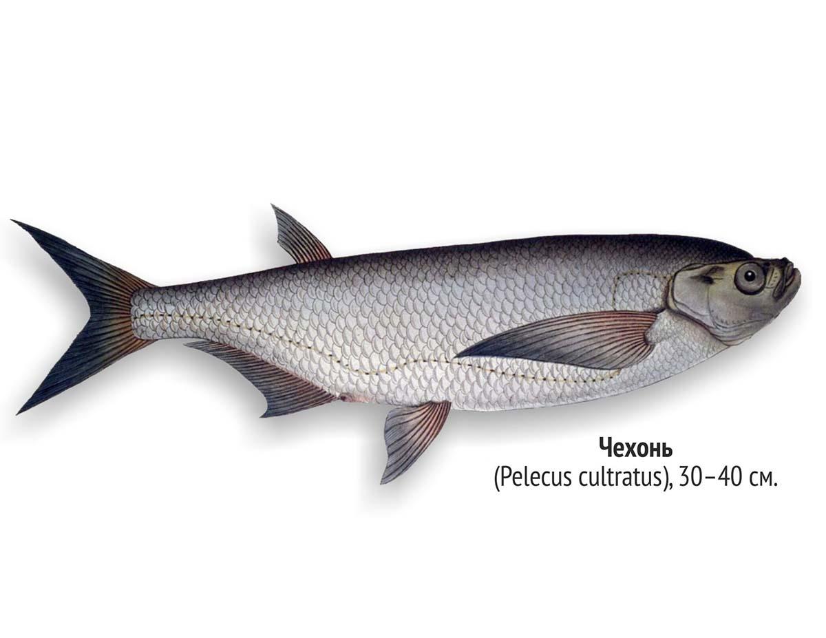 Чехонь (лат. Pelecus cultratus)