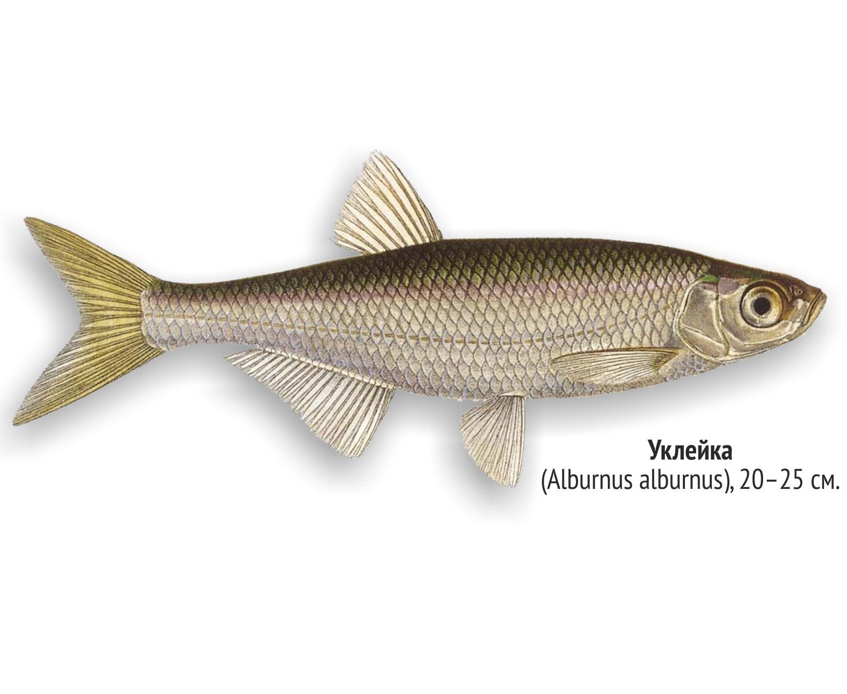 Уклейка (лат. Alburnus alburnus)