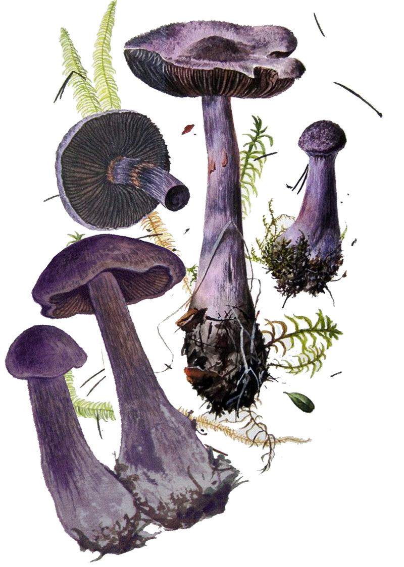 Паутинник фиолетовый, или сиреневый (лат. Cortinárius violáceus)