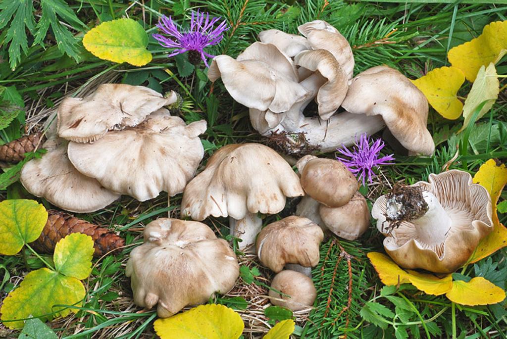 Рядовка дымчатая (Lyophyllum fumosum)