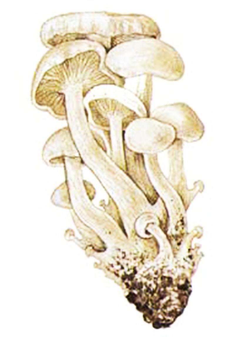 Рядовка сросшаяся (лат. Leucócybe connáta)