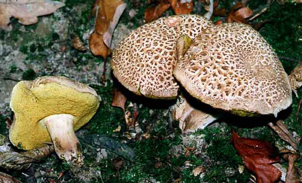 Моховик пороспоровый (лат. Xerocoméllus porósporus)
