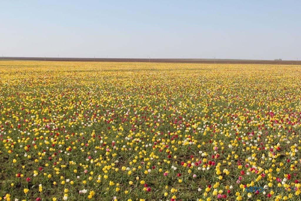 Почему нельзя срывать дикорастущие тюльпаны