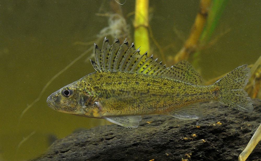 Ёрш (лат. Gymnocephalus cernuus)