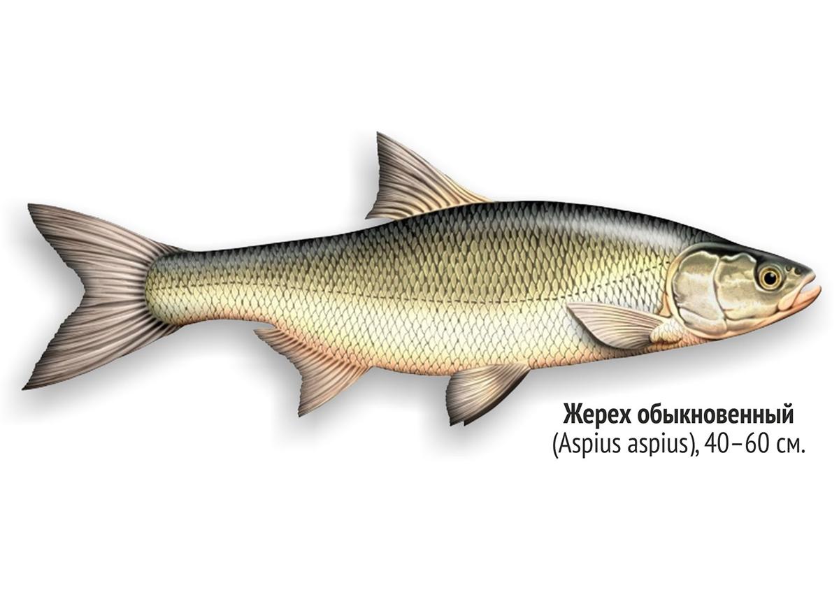 Жерех (лат. Aspius aspius)