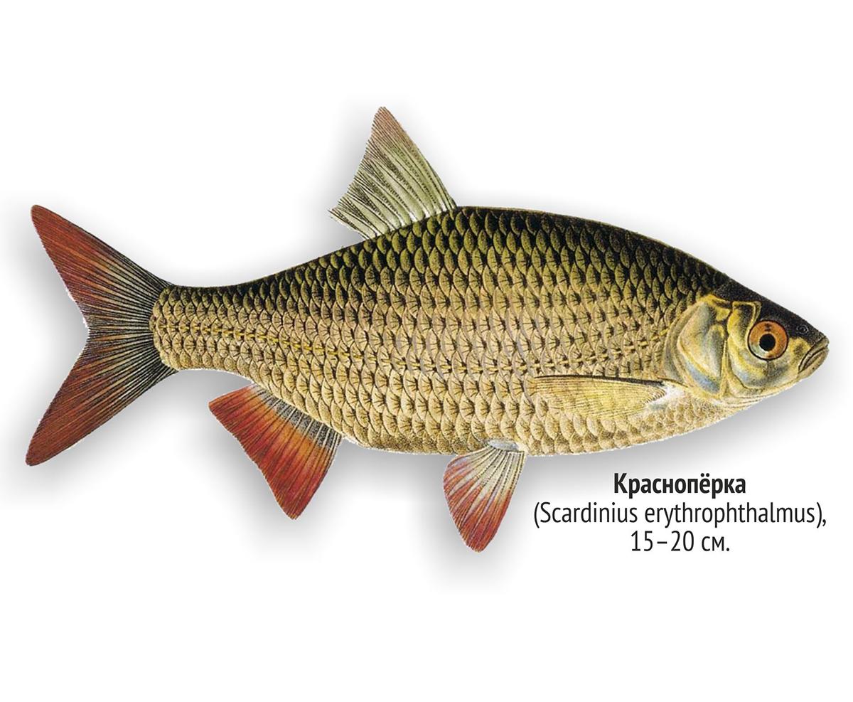 Красноперка (лат. Scardinius erythrophtalmus)