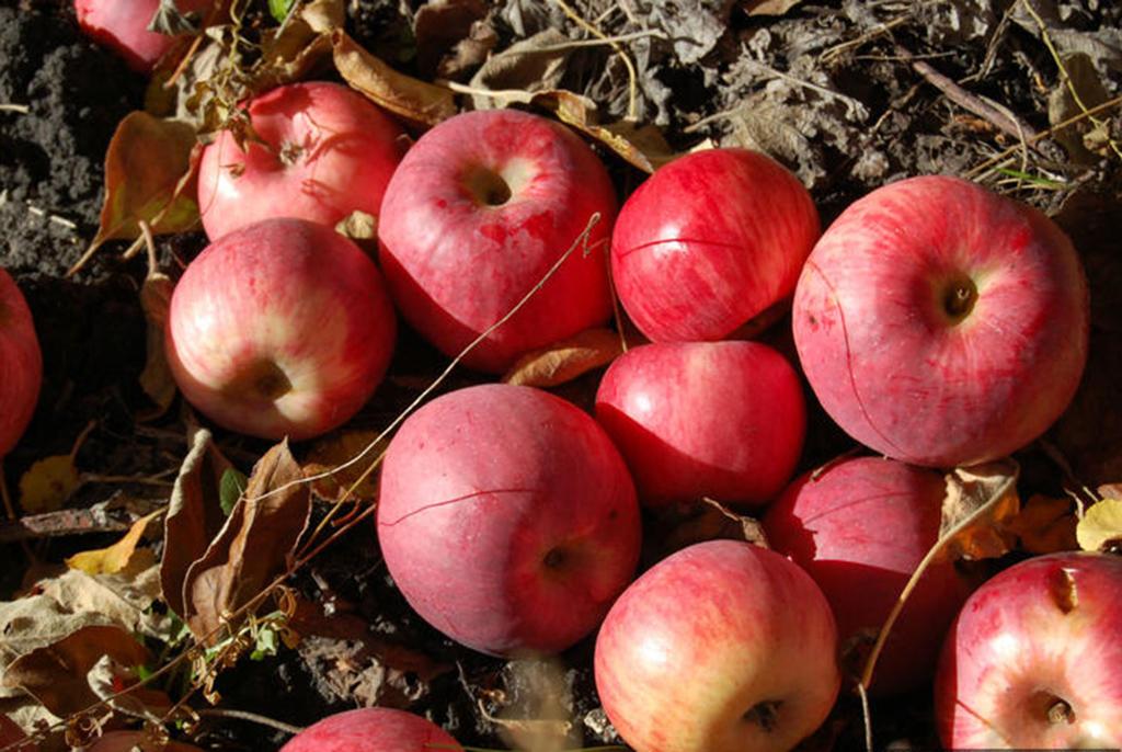 Хвалынские яблоневые сады