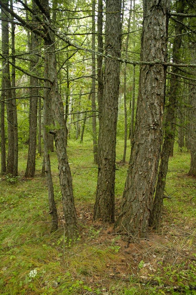 Насаждения лиственницы сибирской