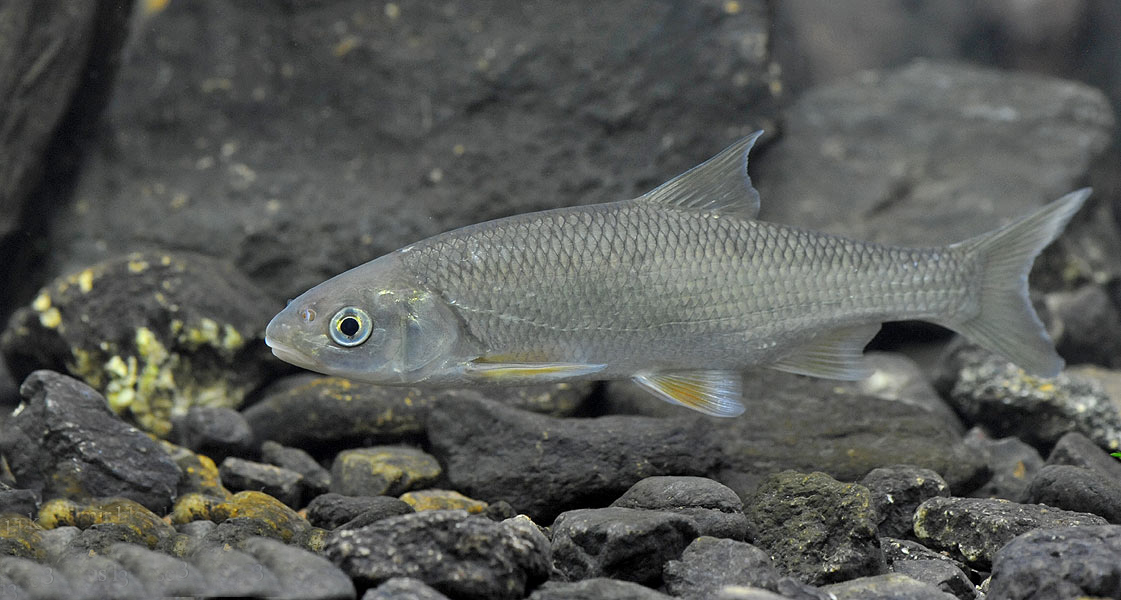 Елец (лат. Leuciscus leuciscus)