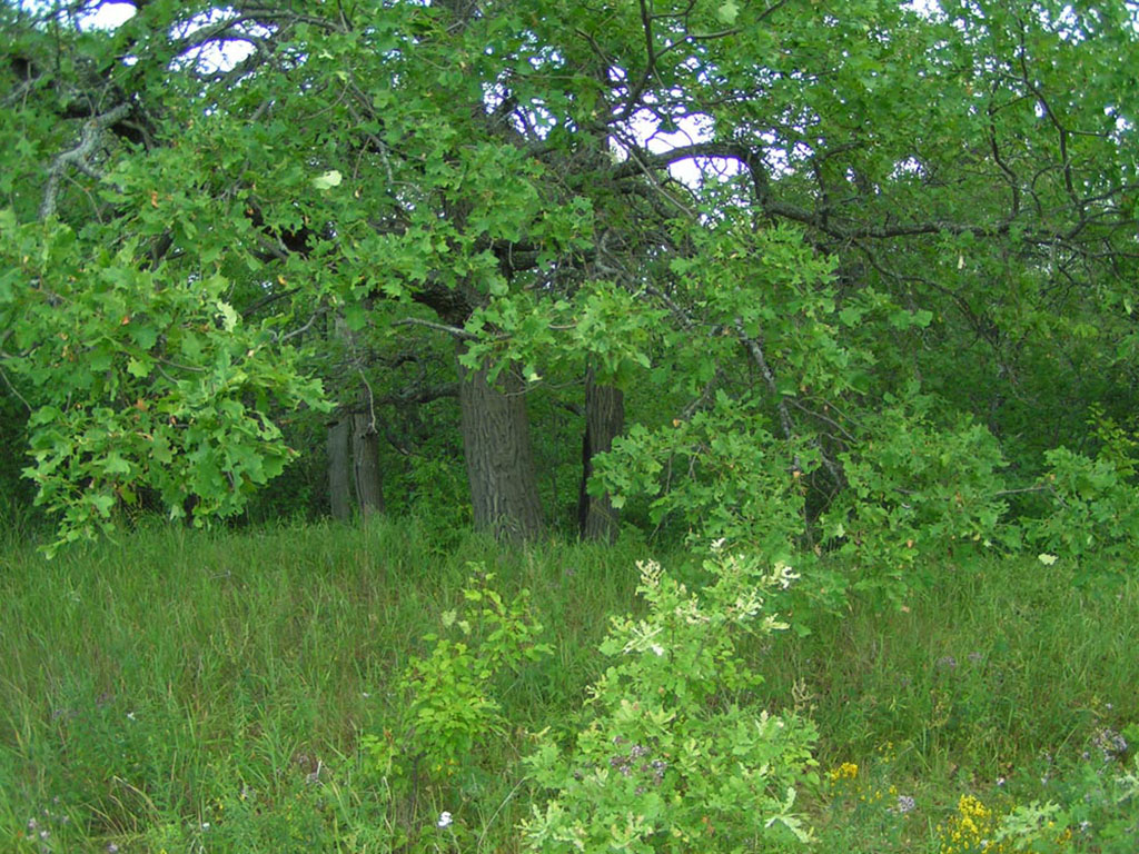 Старовозрастные дубравы в долинах р. Медведица и р. Карамыш