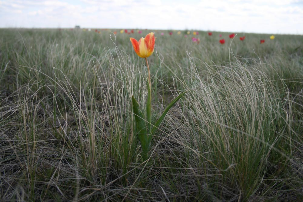 Финайкинская тюльпанная степь