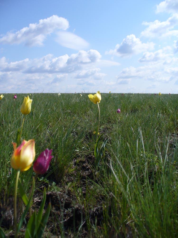 Тюльпанная степь у с. Максютово