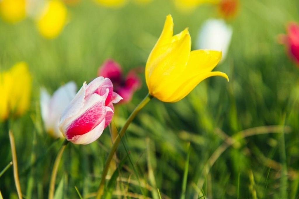 Урочище Куриловская тюльпанная степь