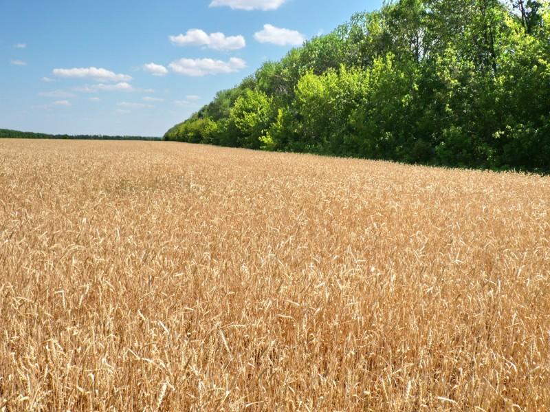 Лесополосы на полях семхоза
