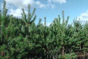 Еремеевские лесопасадки
