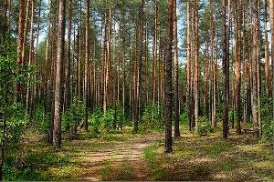 Урочище «Сосновый бор»