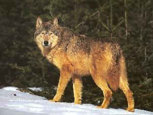 Волк обыкновенный (Canis lupus)