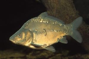 Зеркальный карп (Cyprinus carpio)
