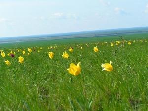 Новозизевская тюльпанная степь